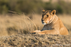 Lioness (Panthera leo) observing from a termite mount, Masai Mara National Reserve, Kenya