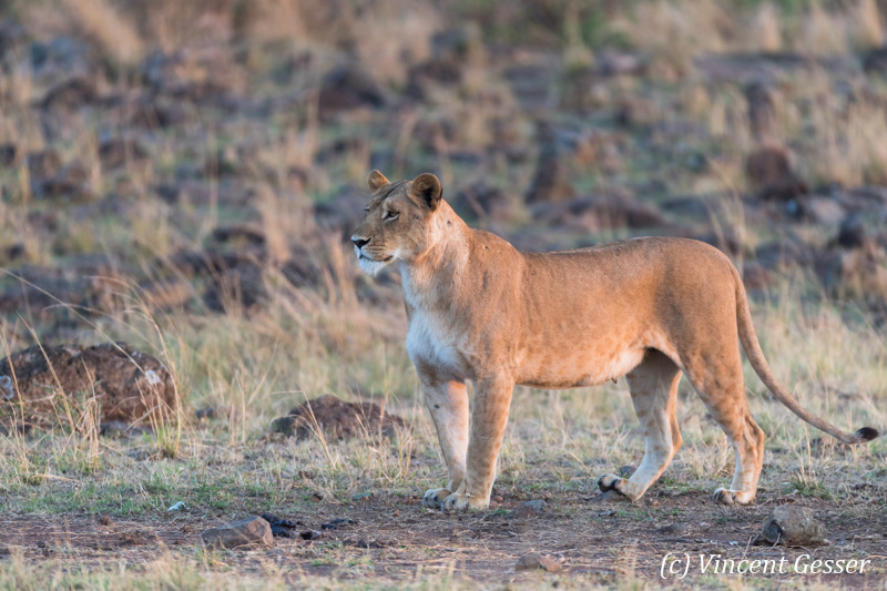Lioness (Panthera leo) observing, Masai Mara National Reserve, Kenya