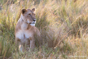Lioness (Panthera leo) observing from the grass, Masai Mara National Reserve, Kenya