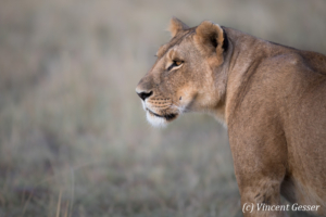 Lioness (Panthera leo) observing, Masai Mara National Reserve, Kenya