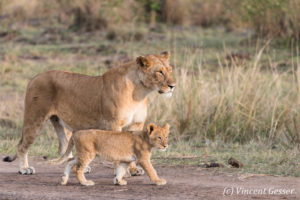 Lioness (Panthera leo) and cub walking, Masai Mara National Reserve, Kenya