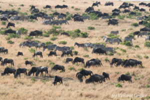 Wildebeests (Connochaetes) grazing with Burchell's zebras (Equus quagga burchellii), Masai Mara National Reserve, Kenya