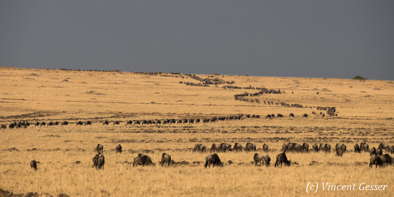 Wildebeests (Connochaetes) migrating as a caravane on the plain, Masai Mara National Reserve, Kenya