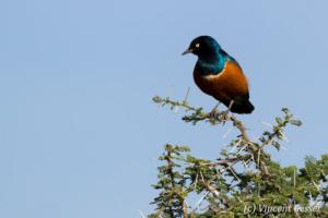 Superb starling ( Lamprotornis superbus) on branch, Lake Natron, Tanzania