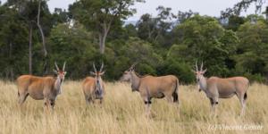 Groups of elands (Taurotragus oryx) in the Masai Mara National Reserve; Kenya