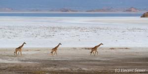 Three adult Maasai Giraffes (Giraffa camelopardalis tippelskirchi) walking on the shores of Lake Natron, Tanzania