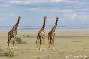 Three adult Maasai Giraffes (Giraffa camelopardalis tippelskirchi) watching, Lake Natron, Tanzania