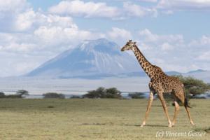 Adult Maasai Giraffe (Giraffa camelopardalis tippelskirchi) walking in front of Ol Doinyo Lengai volcano, Lake Natron, Tanzania