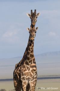 Two adult Maasai Giraffes (Giraffa camelopardalis tippelskirchi) looking like one, Lake Natron, Tanzania