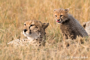 Cheetah (Acinonyx jubatus) mother and cub, Masai Mara National Reserve, Kenya