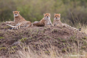 Cheetah (Acinonyx jubatus) mother and two cubs, Masai Mara National Reserve, Kenya