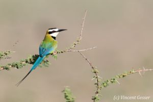 One White-throated Bee Eaters (Merops albicollis) on a branch, Lake Natron, Tanzania