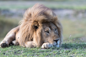 Male lion (Panthera leo) lying and watching, Ndutu (Ngorongoro) Conservation Area, Tanzania