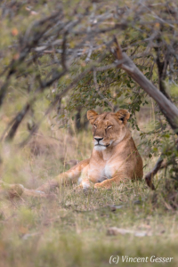 Lioness (Panthera leo) observing from under a bush, Masai Mara National Reserve, Kenya