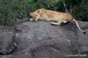 Lioness (Panthera leo) sleeping on rock, Masai Mara National Reserve, Kenya