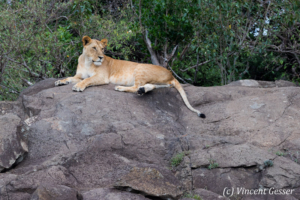 Lioness (Panthera leo) observing from rock, Masai Mara National Reserve, Kenya