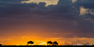 Wildebeests (Connochaetes) migrating at dusk, Ndutu (Ngorongoro) Conservation Area, Tanzania