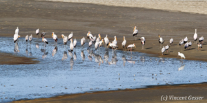 Group of yellow-billed storks (Mycteria ibis) on the shores of Lake Natron, Tanzania