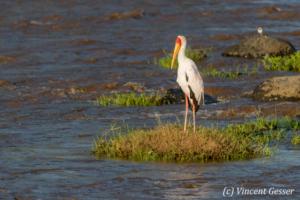 Yellow-billed stork (Mycteria ibis) standing by the river, Masai Mara National Reserve, Kenya