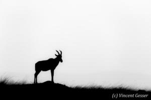 Topis (Damaliscus korrigum) silhouette, Masai Mara National Reserve, Kenya