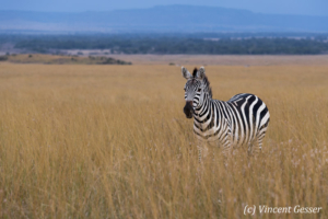 Burchell's Zebra (Equus quagga burchellii) in the plain, Masai Mara National Reserve, Kenya